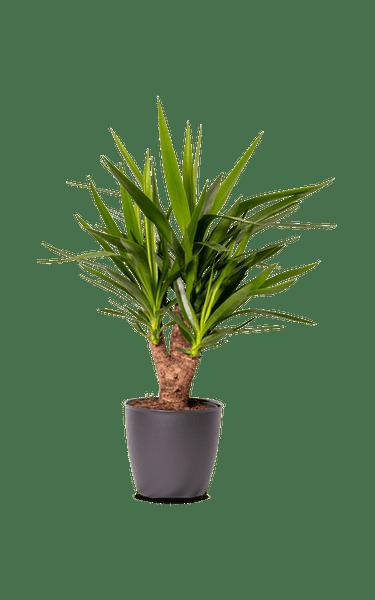 Yucca Palmlilie Yucca grün 21