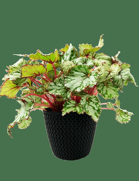 Begonie Beleaf Begonia Asian Tundra grün 12