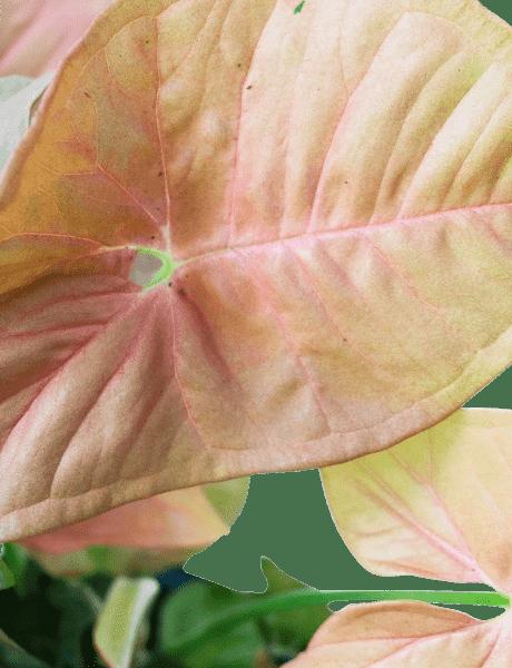 "Purpurtute Syngonium ""Red Heart"" grün 30"