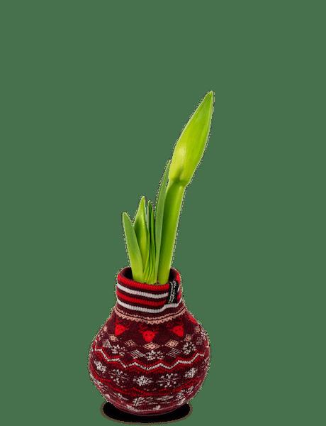 Amaryllis Rittersterne  Hippeastrum (Zwiebel) rot 1
