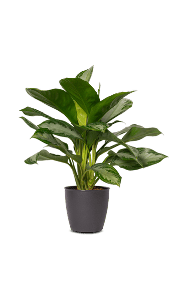 Kolbenfaden Aglaonema Diamond Bay grün 20