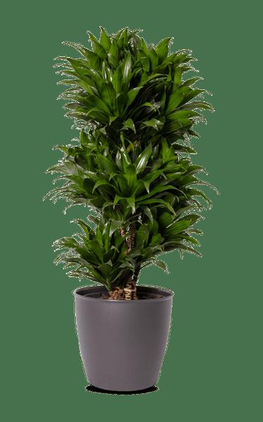 Drachenbaum Dracaena Compacta grün 27