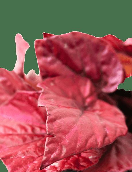 Begonie Beleaf Begonia Inca Flama rot 22