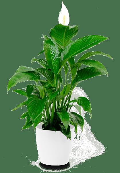 Einblatt Spathiphyllum Bingo Cupido  21