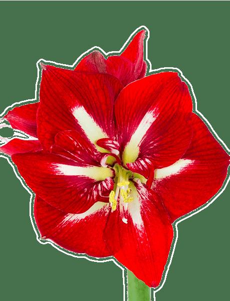 Amaryllis Rittersterne  Hippeastrum (Zwiebel)  10