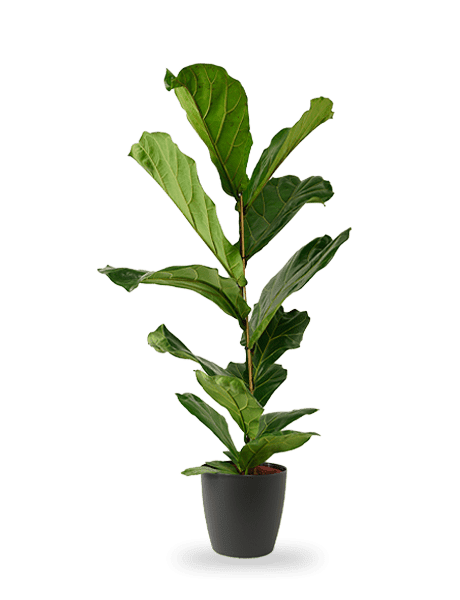 Ficus Lyrata Geigenfeige  105