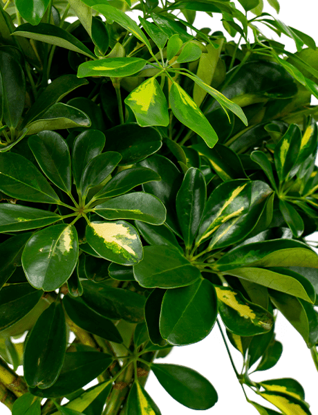 Kolbenfaden  Aglaonema Maria grün 35