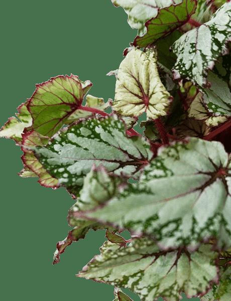 Begonie Beleaf Begonia Asian Tundra grün 25