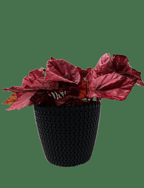 Begonie Beleaf Begonia Inca Flama rot 12