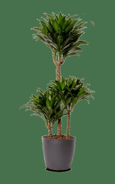 Drachenbaum Dracaena Compacta grün 21