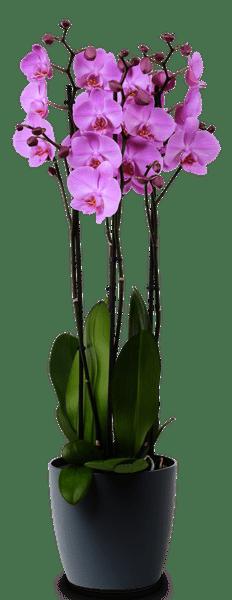 Orchidee Phalaenopsis violett 17
