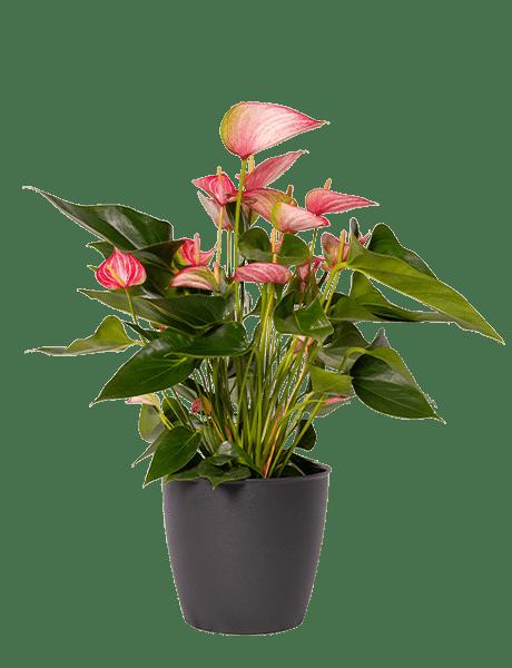 Flamingoblume Anthurie rot-weiß-violett 17