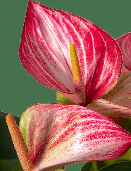 Flamingoblume Anthurie rot-weiß-violett 55