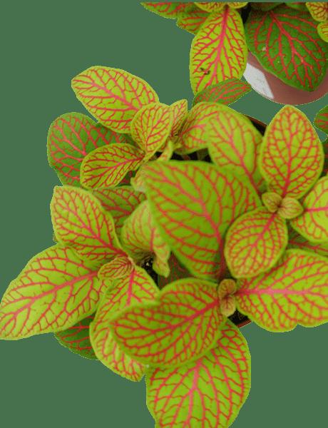 Mosaikpflanze Fittonie 3er Set Fittonia Skeleton  gelb 10