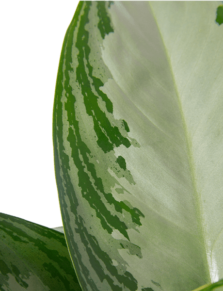 Kolbenfaden Aglaonema Diamond Bay grün 55