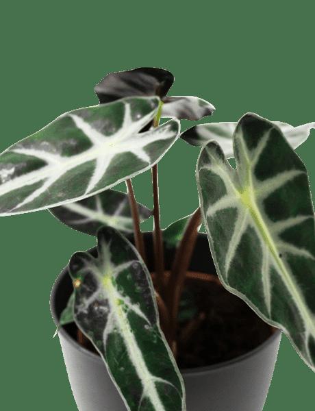 Alocasia Bambino Alocasia Dwerg grün 30