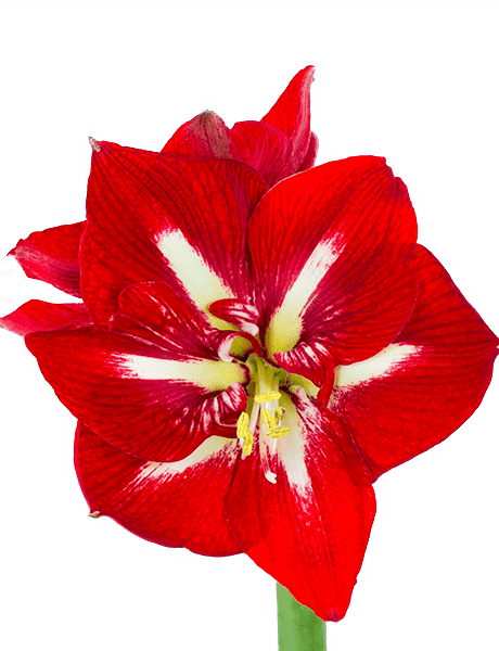 Amaryllis Rittersterne  Hippeastrum (Zwiebel) rot 10