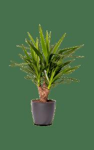 Palmlilie Yucca Yucca grün 80