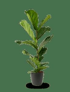 Ficus Lyrata Geigenfeige  95