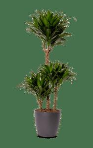 Dracaena Compacta Drachenbaum grün 100
