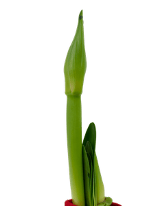 Amaryllis Rittersterne  Hippeastrum (Zwiebel)  1
